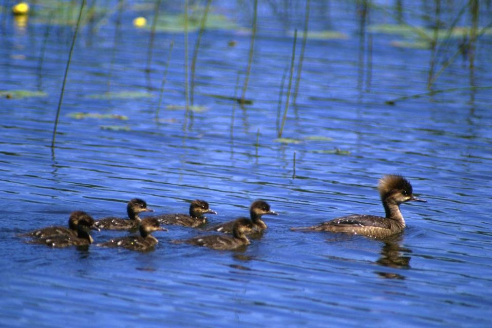 Hooded Merganser Brood