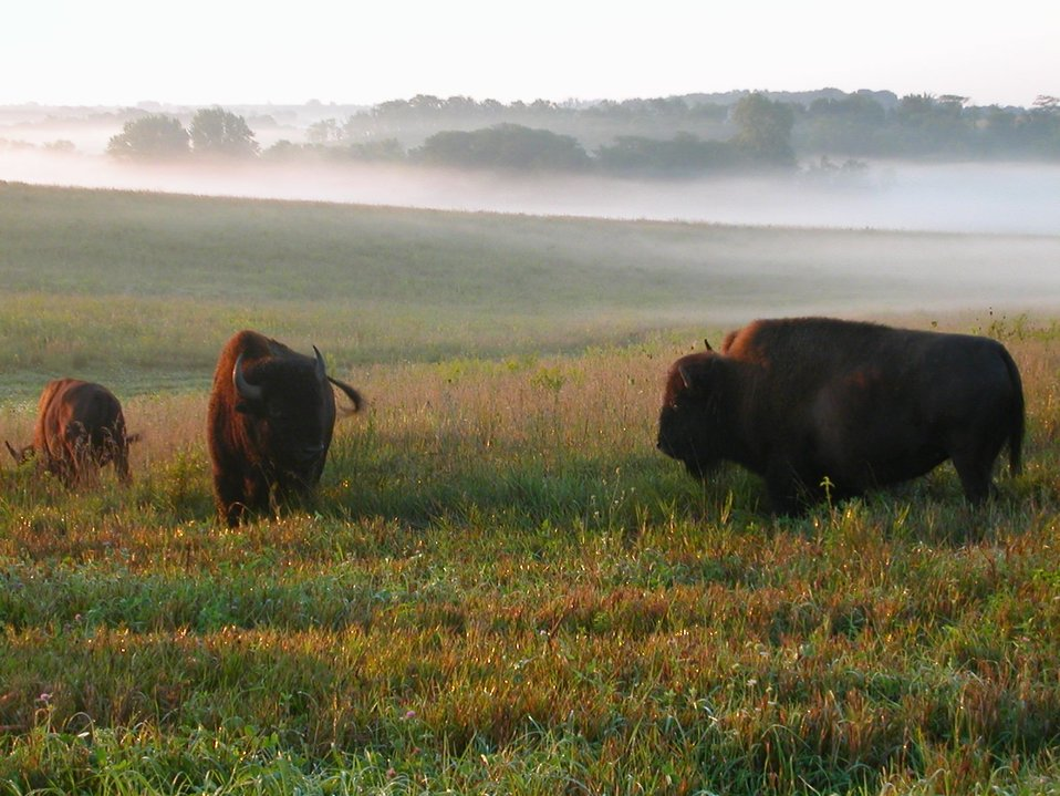 bison on Neal Smith Refuge