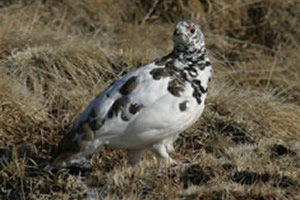White-tailed Ptarmigan in Summer Plummage