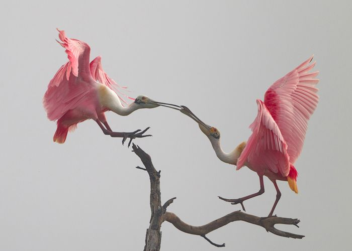 Roseate spoonbills, Michael Rosenbaum by permission