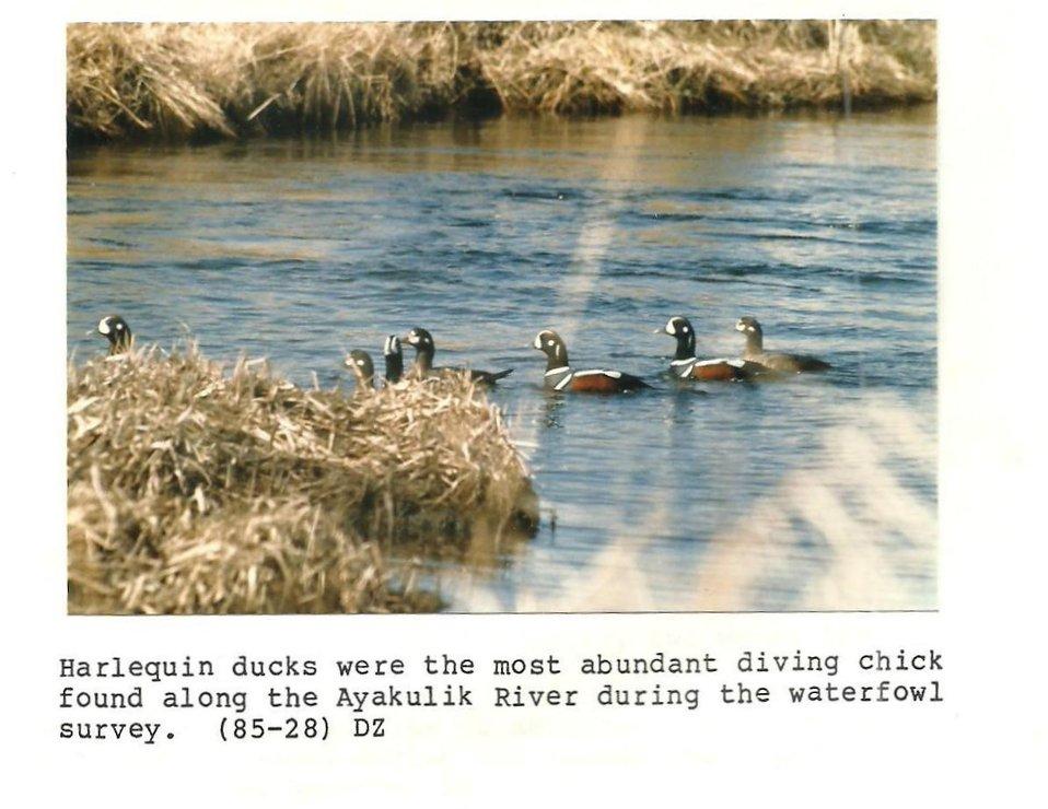 (1985) Harlequin Ducks