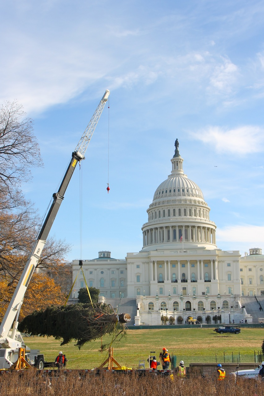 Capitol Christmas Tree 2013 Arrives