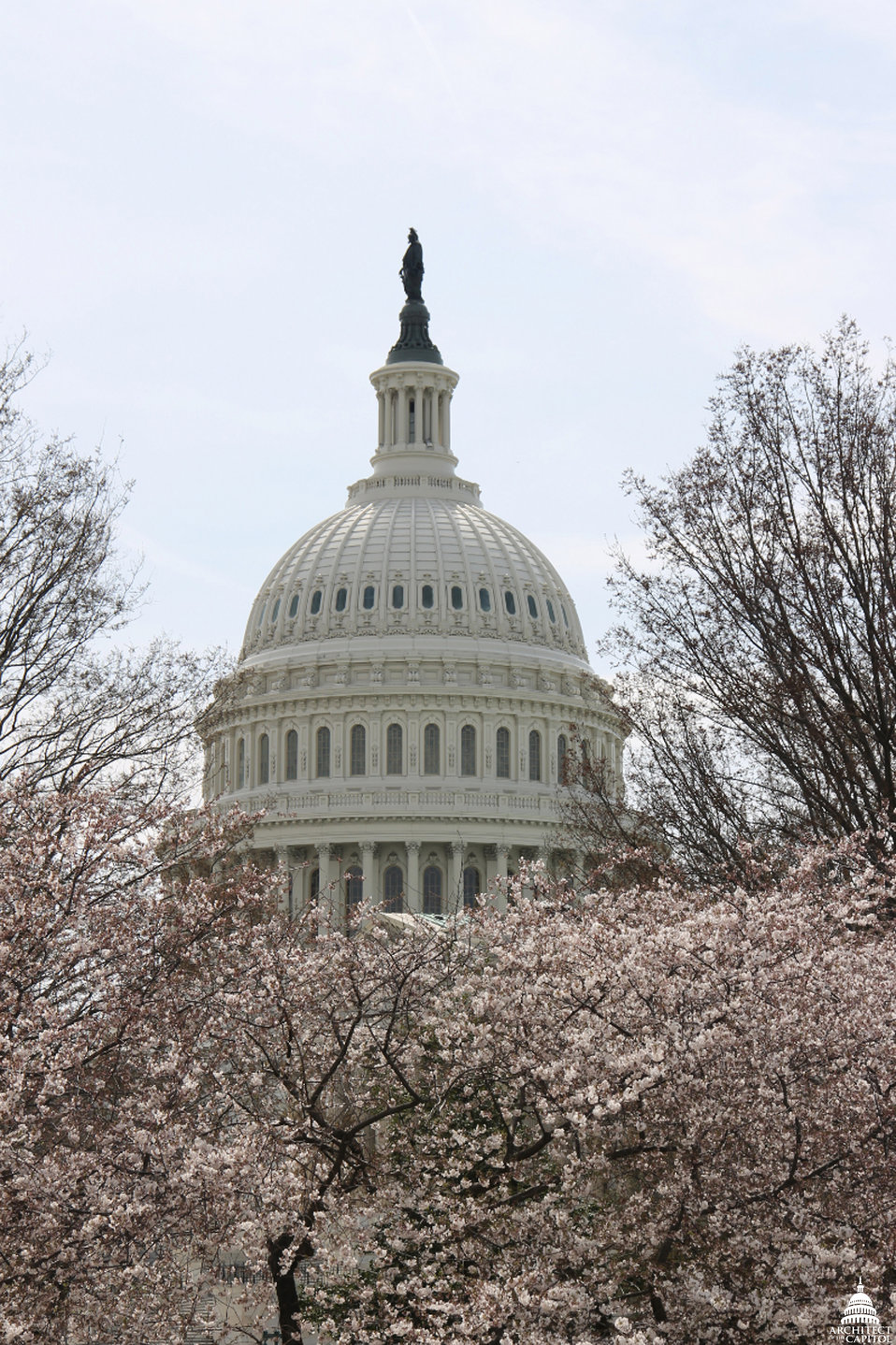 Cherry Blossoms outside the Capitol