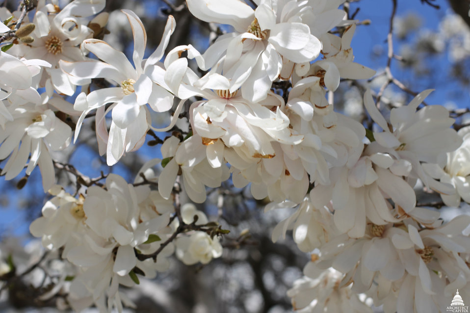 Star Magnolia blooms on Capitol grounds