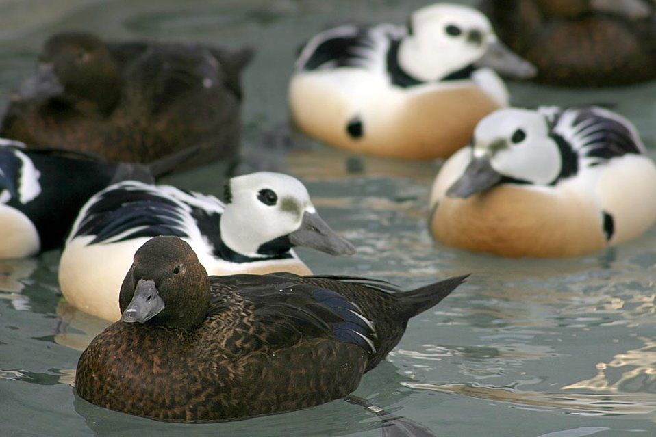 Threatened Steller's eider (Polysticta stelleri) males and females, Alaska SeaLife Center, Seward, Alaska