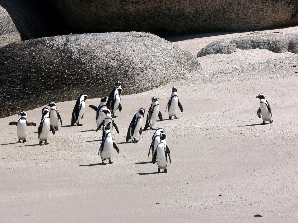 Jackass penguins