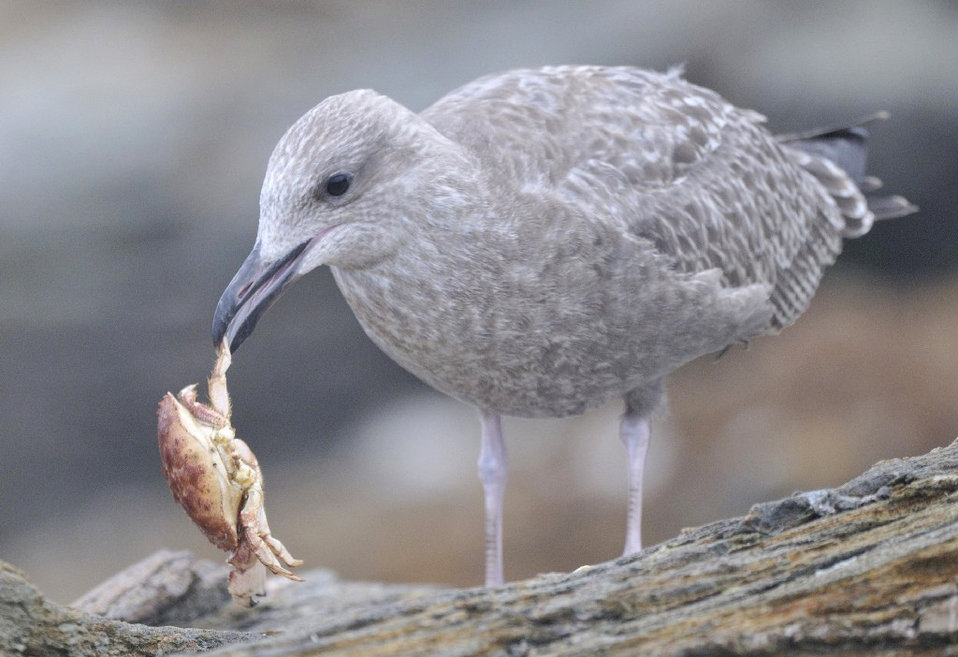 Photo of the Week - Herring Gull (RI)