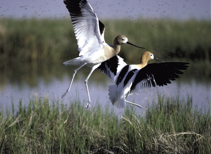 1st American avocets return ...