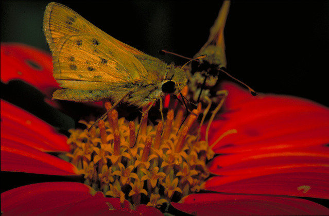 fiery skipper butterfly on Mexican sunflower