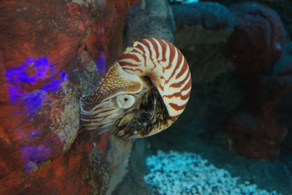 Chambered Nautilus at the Smithsonian National Zoo
