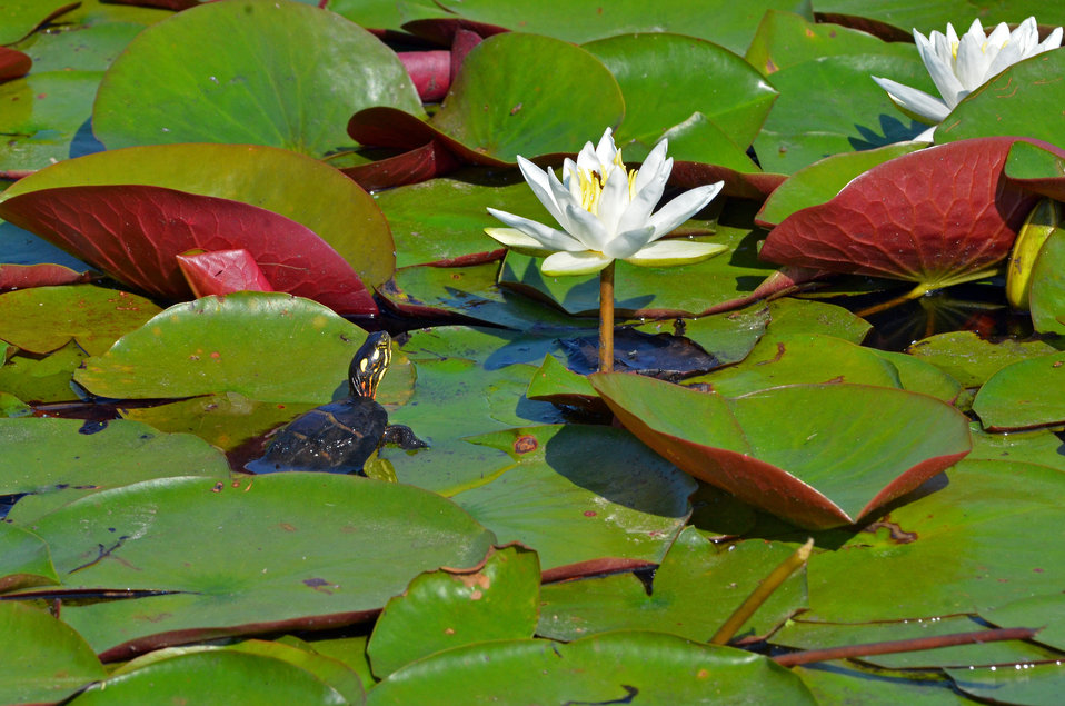 Painted turtle on lily pad