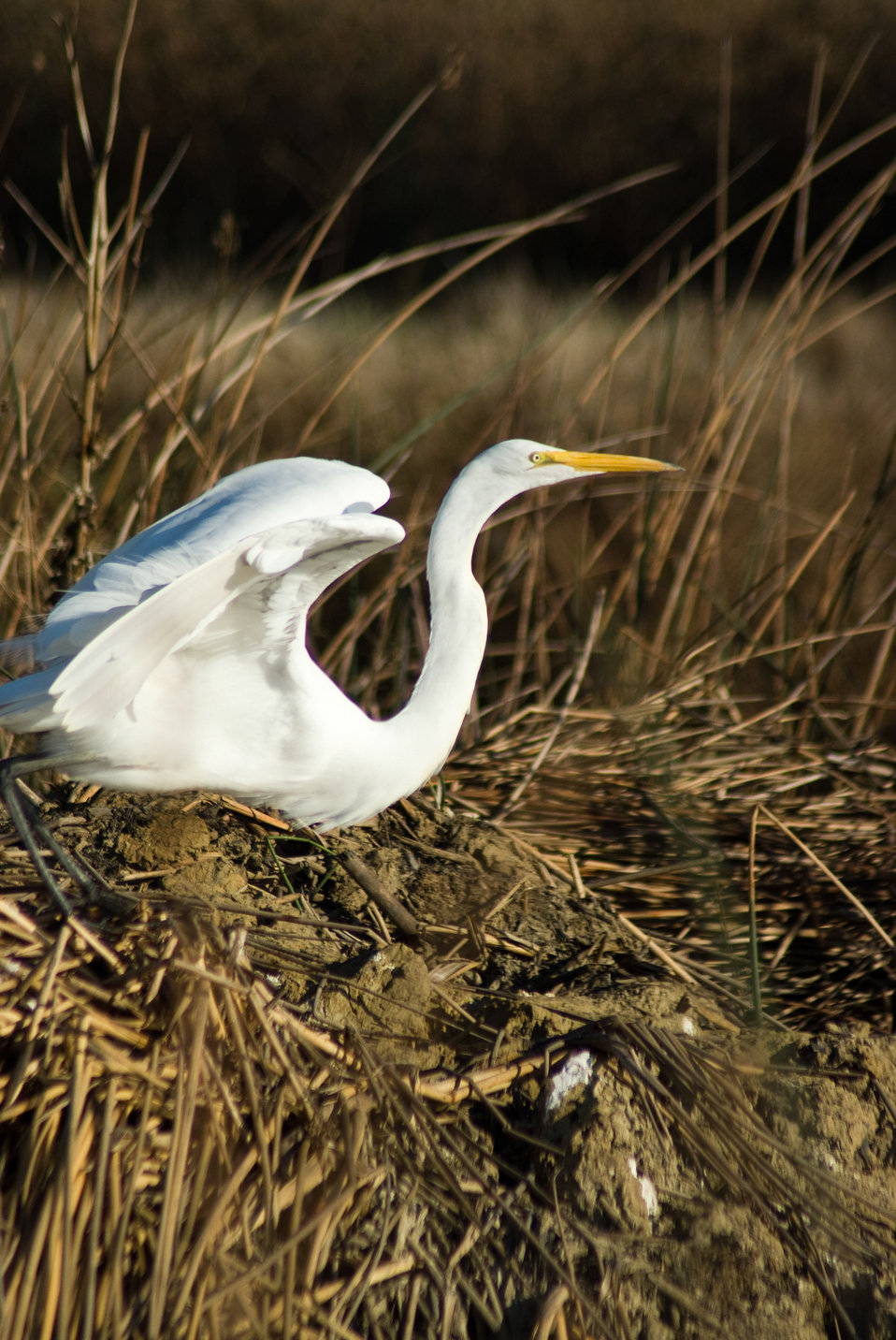 Great egret at Sacramento National Wildlife Refuge
