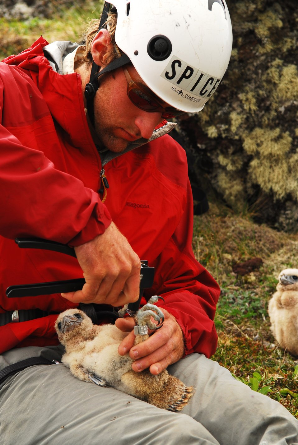 Banding a Gyrfalcon nestling
