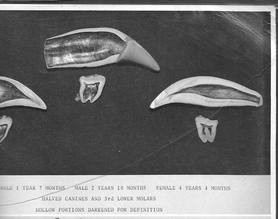 (1964) Halved Bear Canines