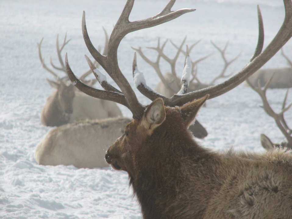 elk herd at rest