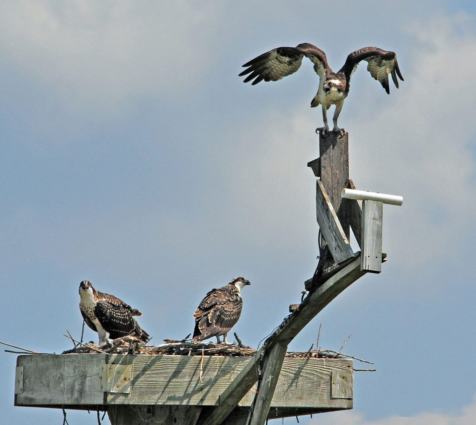 Ospreys at Blackwater
