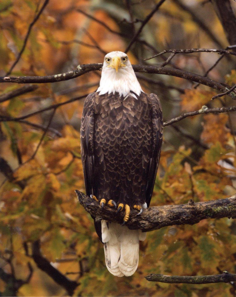 Autumn Eagle