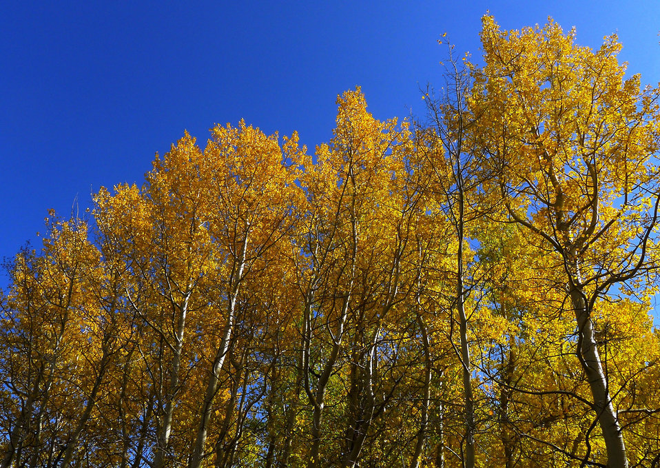 quaking aspens in autumn
