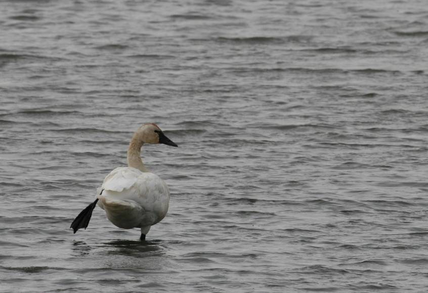 Tundra swan on Des Lacs Refuge