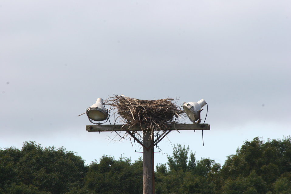 Osprey Nest on light tower