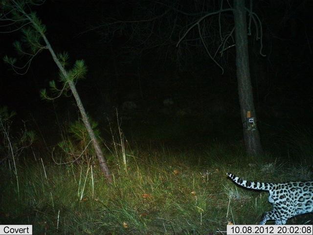 Male Ocelot