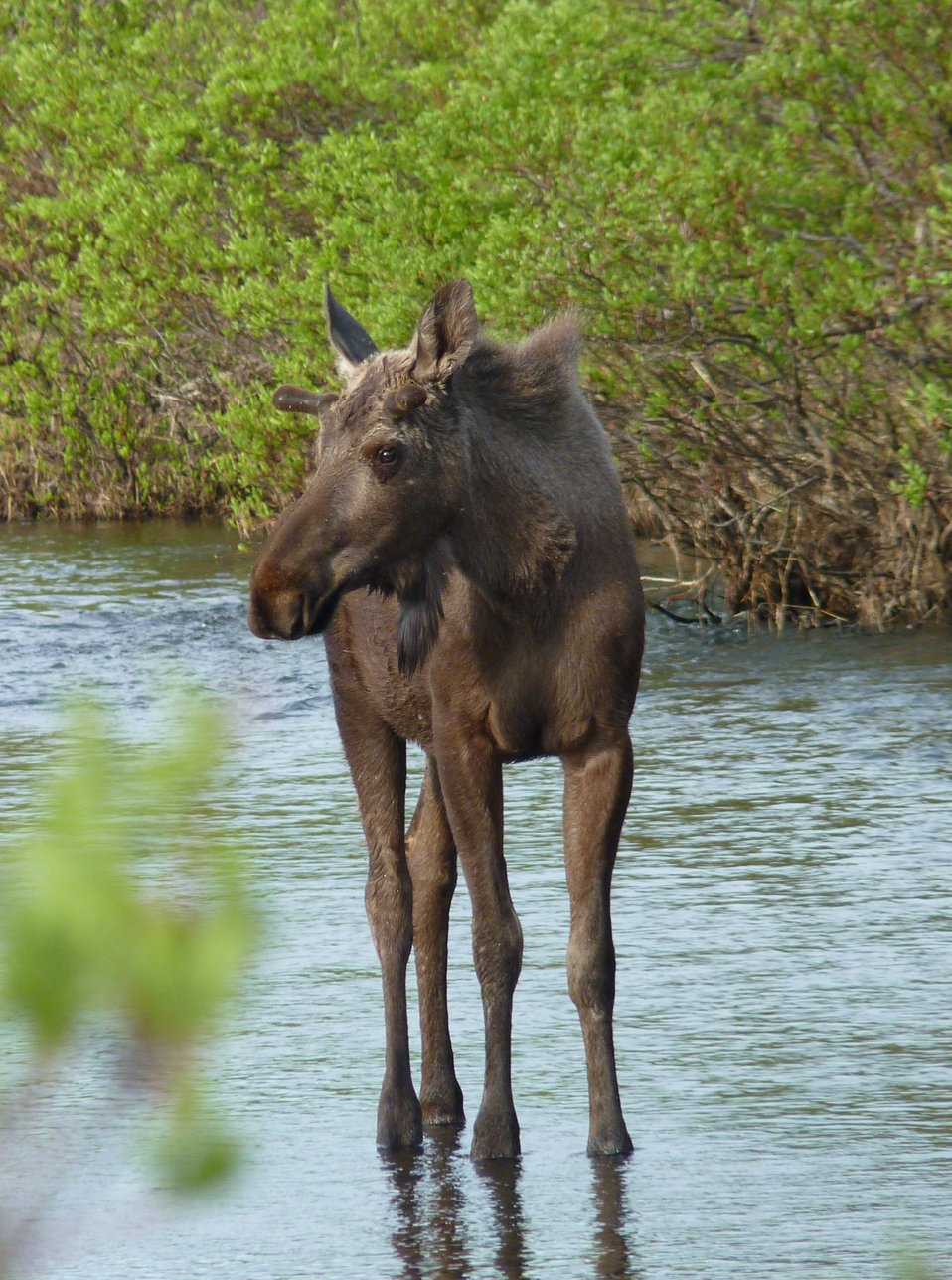 Moose in Allen Creek
