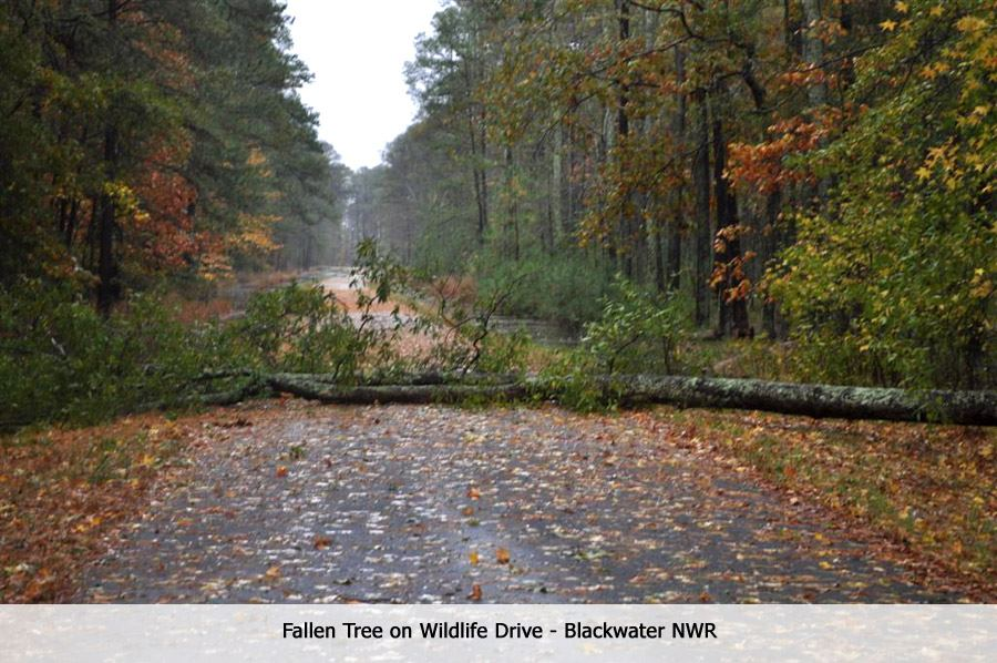 Downed tree at Blackwater National Wildlife Refuge - Oct. 30 (MD)