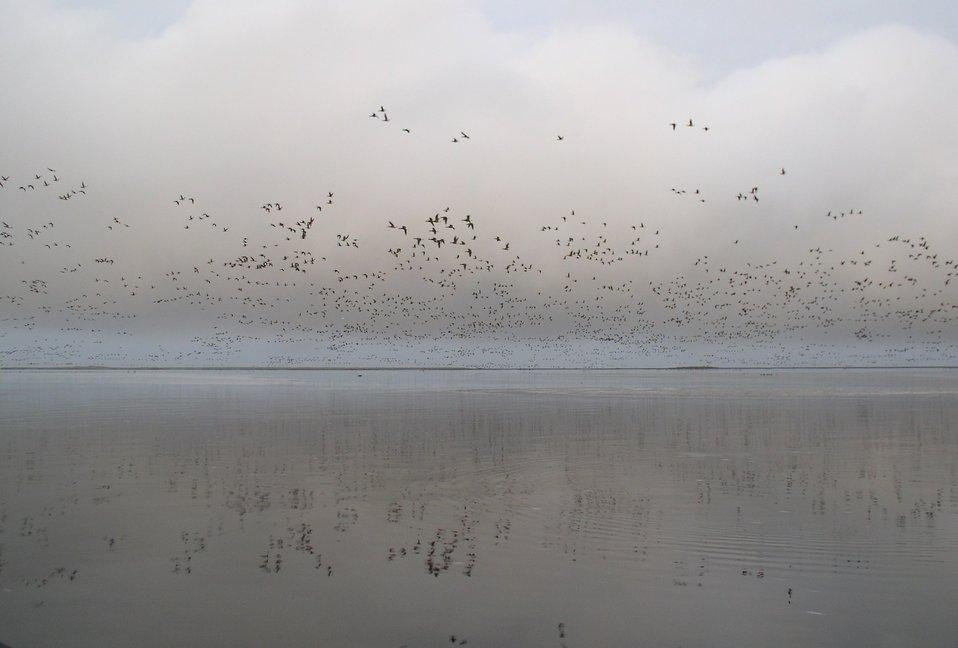 Brant at Izembek Lagoon