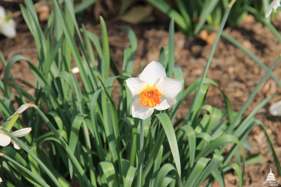 Daffodil in Senate Park