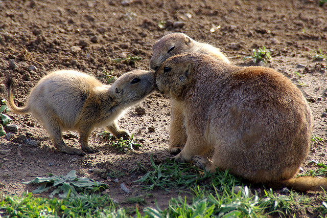 prairie dog family reunion