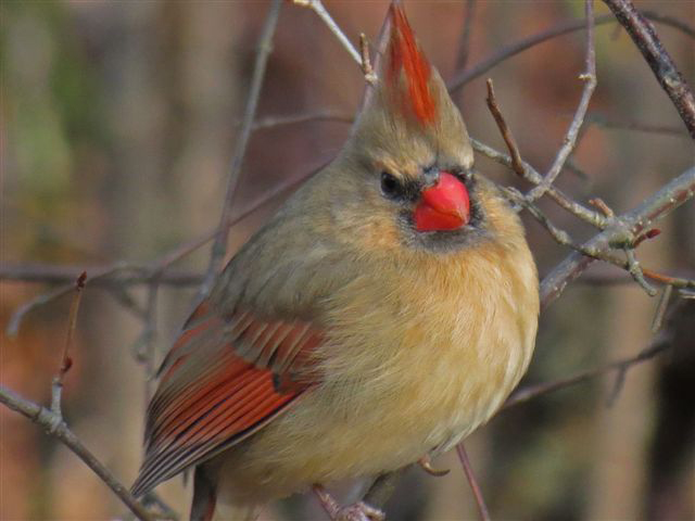 Photo of the Week - Female Cardinal (RI)