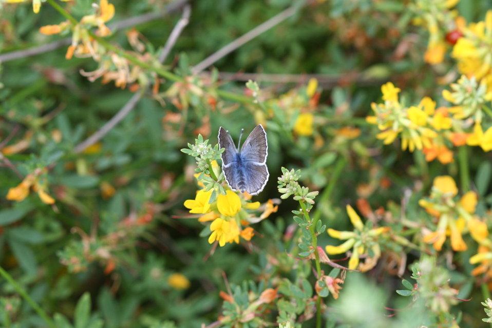 endangered Palos Verdes blue butterfly