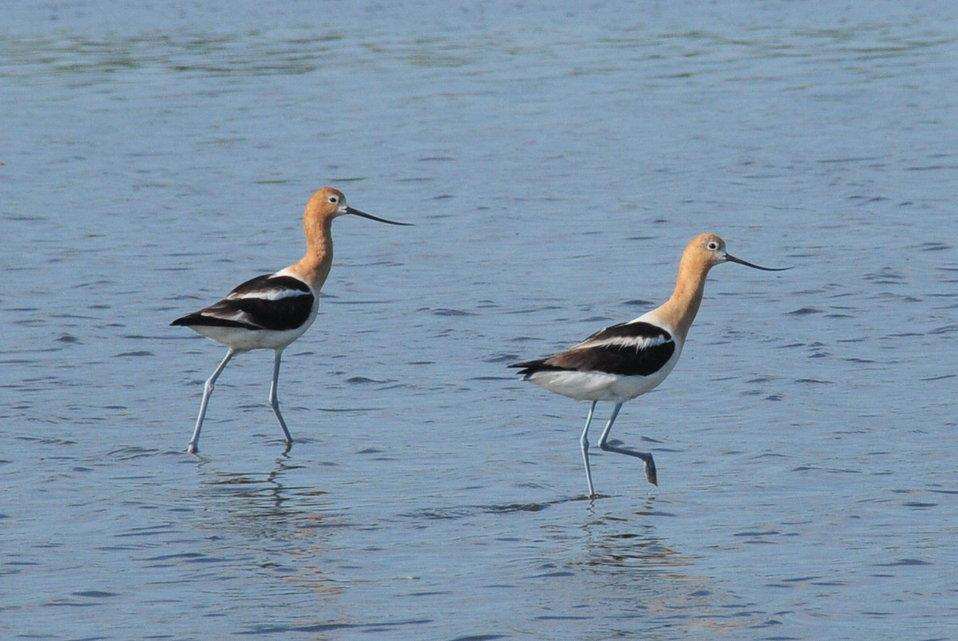 American Avocet Pair on Sand Lake NWR