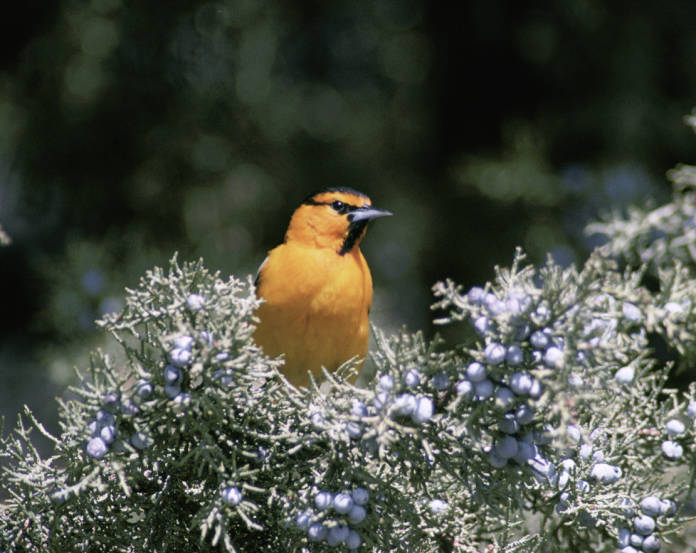 Bullock's oriole, Tule Lake National Wildlife Refuge