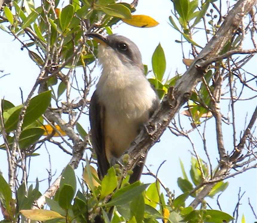 1st mangrove cuckoo sighted ...