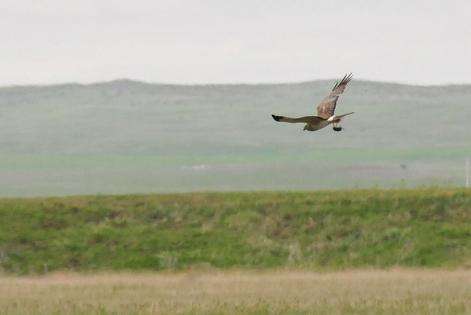 Northern Harrier with Vole Lacreek NWR