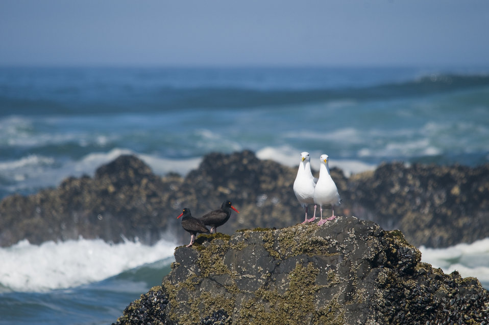 Black Oystercatchers & Western Gulls