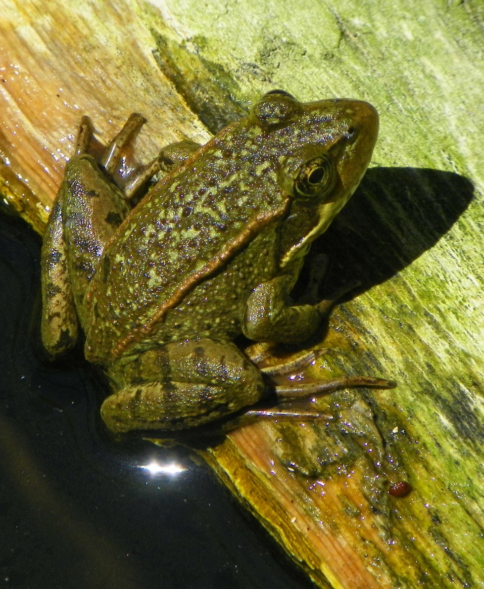 California Red Legged Frog