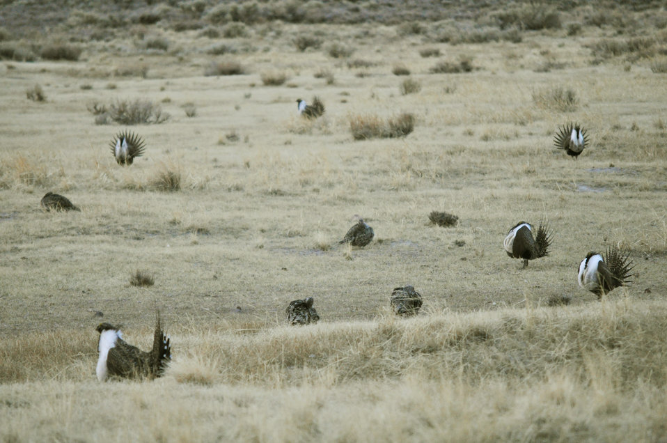 Greater Sage-Grouse at Lek