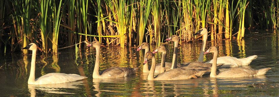 Trumpeter Swan pair and Cygnets on Seedskadee NWR 02