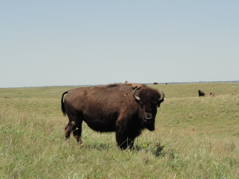 bison, Fort Niobrara National Wildlife Refuge