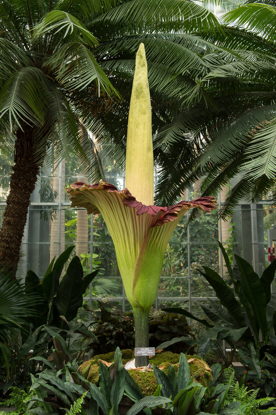 The titan arum in bloom at the Botanic Garden