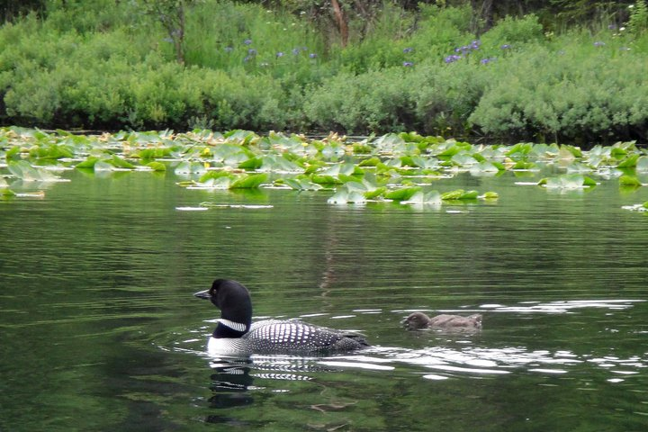 common loon and chick, Kenai National Wildlife Refuge, AK