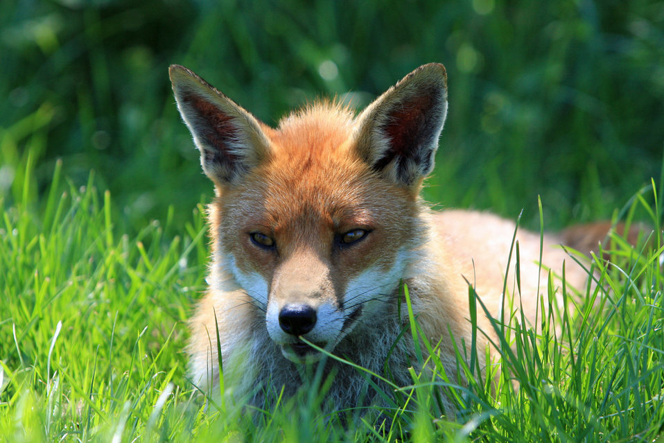 Fox resting portrait