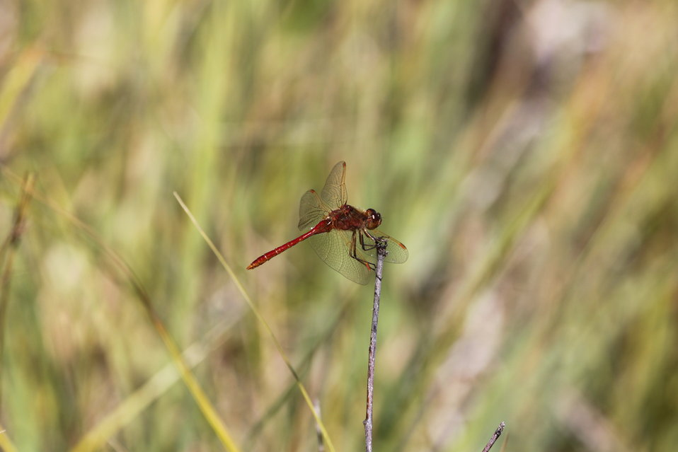 Saffron-winged Meadowhawk-14