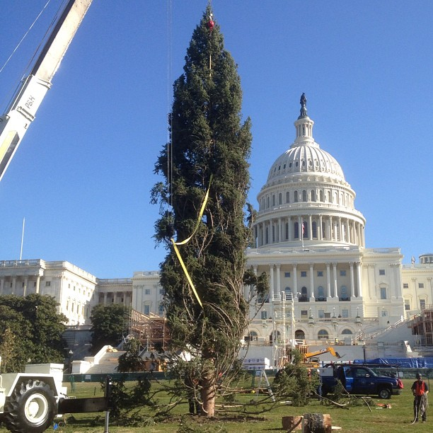 Capitol Christmas Tree now in place. AOC crews now prepare tree for lighting Dec 4, 5 pm.