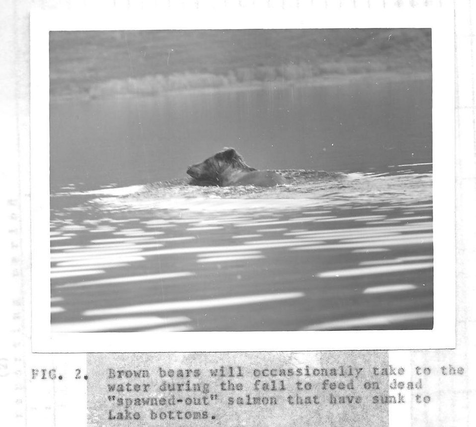 (1963) Swimming Bear