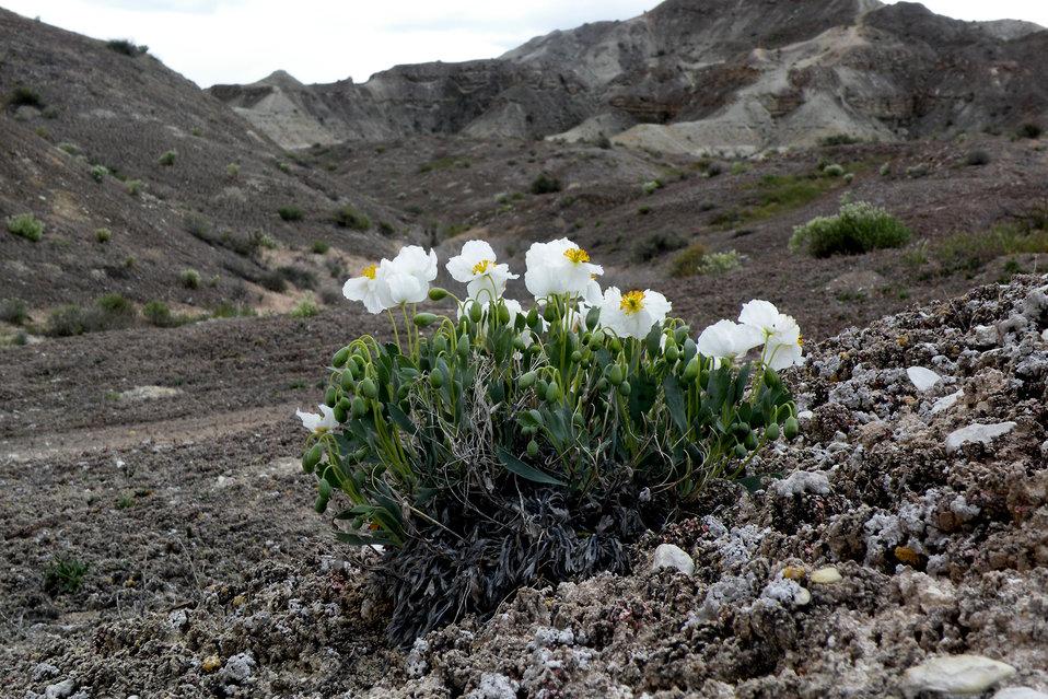 Dwarf bearclaw poppy (Arctomecon humilis)
