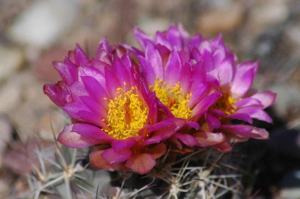 Sclerocactus in Bloom