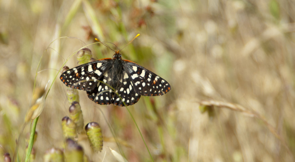 Chalcedon Checkerspot Butterfly 2